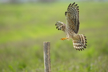 HMS2149298 France, Vendee, Noirmoutier, Montagu's Harrier (Circus pygargus) female