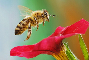 IBXASY04418519 Western or European honey bee (Apis mellifera), petunia (Petunia sp.), Saxony-Anhalt, Germany, Europe