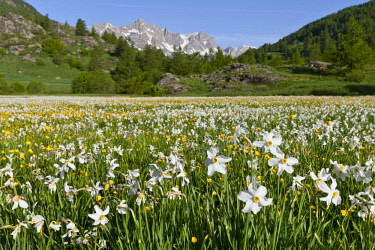 HMS1987825 France, Hautes-Alpes, Nevache La Claree valley, daffodils, narcissus family Amaryllidaceae, overlooking the Pointe Cerces (3097m)