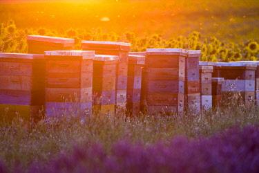 HMS2066200 France, Alpes de Haute Provence, Parc Naturel Regional du Verdon (Regional natural park of Verdon), plateau of Valensole, hives between a field of lavender and sunflowers