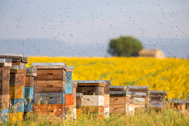HMS2066205 France, Alpes de Haute Provence, Parc Naturel Regional du Verdon (Regional natural park of Verdon), plateau of Valensole, bees flying around hives near a field of sunflowers