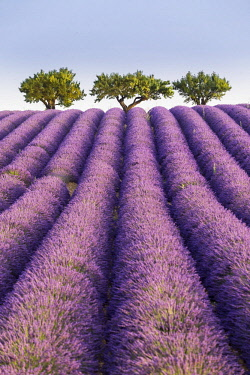HMS2258933 France, Alpes de Haute Provence, regional natural park of Verdon, plateau of Valensole, Almond tree (Prunus dulcis) at the edge of a field of lavenders