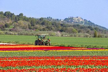 HMS2657999 France, Alpes de Haute Provence, Lurs, tulips field