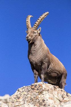 HMS2688784 France, Alpes de Haute-Provence, national park of Mercantour, Haut-Verdon, male grown-up Ibex (Capra ibex) on the Montagne de l'Avalanche