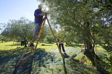 HMS2482827 France, Bouches du Rhone, regional park of Alpilles, Les Baux de Provence, Olives, olive harvest variety Grossanne AOC Vallee des Baux