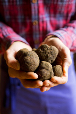 HMS2506868 France, Vaucluse, Monteux, The Ventoux Truffle, weekend discovery and tasting, black winter truffle (tuber melanosporum)