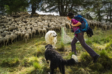 HMS2563691 France, Hautes Alpes, Queyras Regional Natural Park, Aiguilles, Peynin valley, the shepherdess Manue and her ewes herd