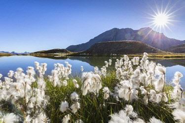 HMS2429289 France, Hautes Alpes, Parc Naturel Regional du Queyras (Natural regional park of Queyras), balls white of the Scheuchzer's cottongrass (Eriophorum scheuchzeri) on the lake of Eychassier (2770m) in the...