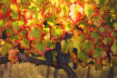 CLKAD52748 Europe, Italy, Umbria, Perugia district, Montefalco. Grapes vine in autumn
