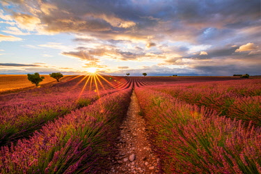CLKFI68863 Lavender field, Valensole Plateau, Provence, France