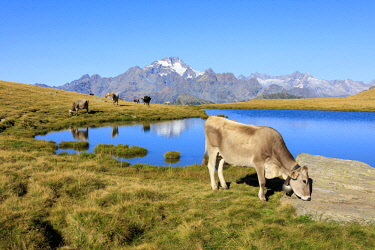 CLKRM65422 Cows grazing on the shore of Lakes of Campagneda Malenco Valley Lombardy province of Sondrio Valtellina Italy Europe
