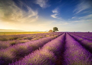 CLKST69188 Lonely house surrounded by lavender fields near Valensole, Provence, France