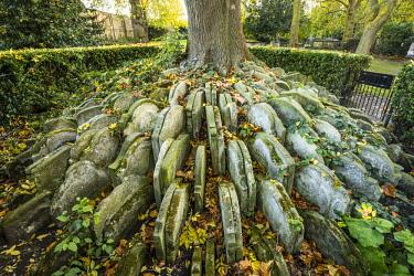 UK11217 The Hardy Tree, St. Pancras Old Church, Kings Cross, London, England, UK