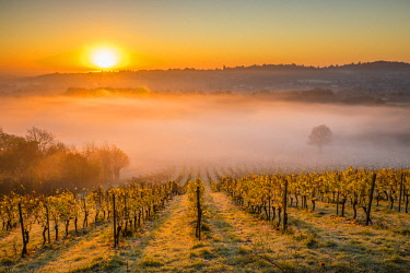 UK07971 Denbies Wine Estate (Largest vineyard in England), North Downs Way, Dorking, Surrey, England