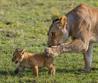 KEN10425 Kenya, Masai Mara, Narok County. A lioness urges  her six-weeks-old cub to walk faster.