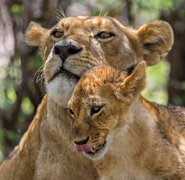KEN10426 Kenya, Masai Mara, Narok County. A lioness and her cub.