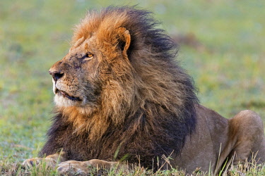 KEN10428 Kenya, Masai Mara,Narok County. A fine black-maned lion.