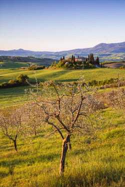 ITA11318AW Olive grove and rolling hills at sunrise, Val d'Orcia, Tuscany, Italy
