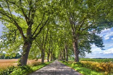 GER10576AW Lime tree avenue,  Krummin, Usedom island, Mecklenburg-Western Pomerania, Germany