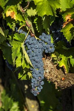 ITA11137AW europe, italy, umbria. Sagratino grape near to Montefalco