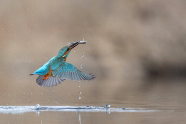 Alcedo atthis, Common Kingfisher (male) fishing. Italy