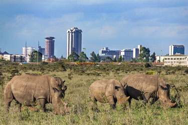 KEN10465 Kenya, Nairobi National Park, Nairobi County.  Rhinos graze in the Nairobi National Park against a backdrop of Nairobi City.
