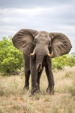 ZIM2568AW Africa, Zimbabwe, Gonarezhou National Park. An elephant makes a mock charge