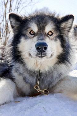 IBLART03151437 Sledge dog, Alaskan Malamute, portrait, Walgau, Bavaria, Germany, Europe
