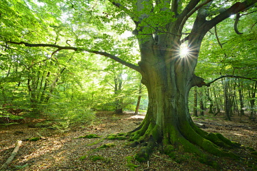 IBLAVI04419072 Sun ray shining through huge old mossy beech (Fagus sp.) tree in former wood pasture, Reinhardswald, Sababurg, Hesse, Germany, Europe