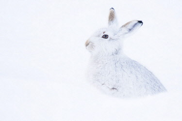 IBXCRU04489407 Mountain hare (Lepus timidus) sitting in snow, winter coat, Cairngroms National Park, Scottish Highlands, Scotland, United Kingdom, Europe