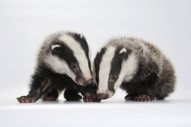 IBXEKR04152102 European badger (Meles meles), two young badgers, sniffing