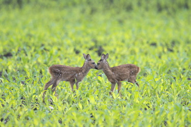 IBXENH04166982 European roe dear fawns (Capreolus capreolus) standing in a field, Emsland, Lower Saxony, Germany, Europe