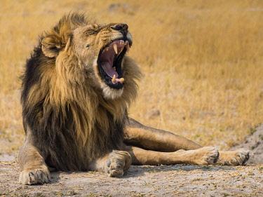 IBXOOC04419628 Lion (Panthera leo) yawning, Okavango Delta, Botswana, Africa