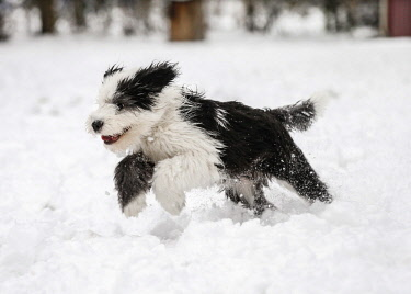IBXRAL04052358 Old English Sheepdog, puppy, 4 months, running in the snow