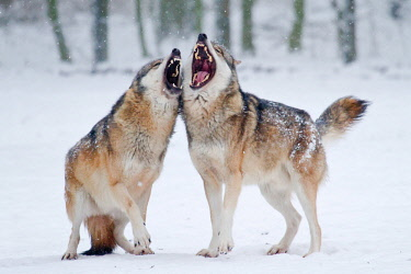 IBXWMA03801067 Howling Wolves (Canis lupus) in the snow, Hesse, Germany, Europe
