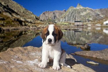 IBLIKU02152681 St. Bernard puppy of the Barry Foundation, Great St. Bernard Pass, Valais, Switzerland, Europe
