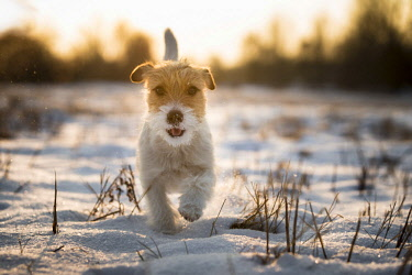 IBLMBE03789557 Young Jack Russell Terrier bitch walking over a snow-covered field in the morning light, Wustermark, Brandenburg, Germany