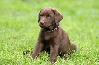 IBLPFF02393467 Brown Labrador Retriever, puppy sitting in a meadow