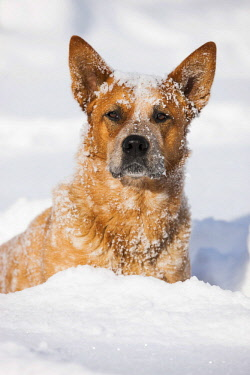 IBLPSA04241516 Australian Cattle Dog, male, red, sitting in deep snow, North Tyrol, Austria, Europe