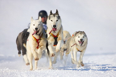 IBLSIH02170836 Sled dog race on snow, in Lenk, Switzerland, Europe