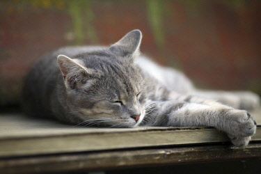 IBLSKS03118283 Grey tabby cat relaxing on a bench asleep, Satteldorf, Hohenlohe, Germany