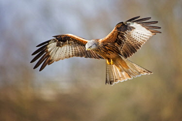 IBLTHI04338695 Red Kite (Milvus milvus) in flight, Middle Elbe Biosphere Reserve, Saxony-Anhalt, Germany, Europe