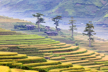 VIT1430AW Stilt huts and trees set in rice terrace at harvest time, Tu Le, Yen Bai Province, Vietnam, South-East Asia