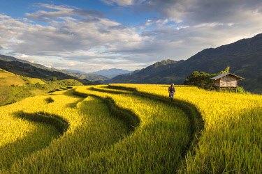 VIT1432AW A farmer walks amongst the rice terraces at harvest time, Mu Cang Chai Yen Bai Province, Vietnam, South-East Asia