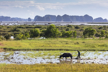 VIT1446AW A farmer ploughs a paddy field using a water buffalo, Halong Bay, Ha Long Bay, Quang Ninh Province, Vietnam
