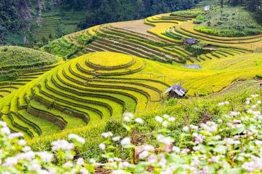 VIT1459AW Stilt huts sit amongst  rice terraces at harvest time, Mu Cang Chai Yen Bai Province, Vietnam, South-East Asia