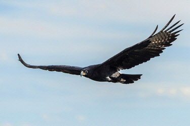 ZIM2701AW Africa, Zimbabwe, Matabeleland north. A Verreaux's eagle neat to the Victoria Falls