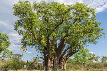 ZIM2705AW Africa, Zimbabwe, Matabeleland north. The big baobab at Victoria Falls