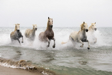 FRA10191AW White horses running through the water, Camargue, Provence-Alpes-Cote d'Azur, France