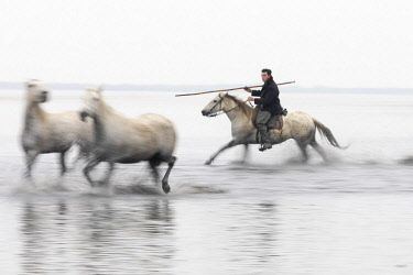 FRA10192AW A guardian herds two white horses through the water, Camargue, Provence-Alpes-Cote d'Azur, France